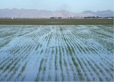 Level basin flood irrigation on wheat. Yuma, Az. 2002 Photo by Jeff Vanuga, USDA Natural Resources Conservation Service Source:http://photogallery.nrcs.usda.gov/Index.asp