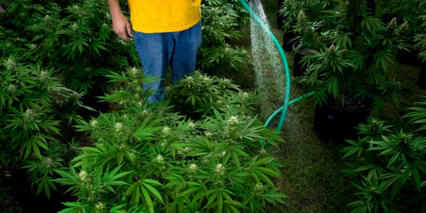 Man watering Marijuana plants. Source: Huffington Post