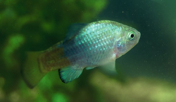 DesertPupfish_JohnRinne_FPWC_4.jpg